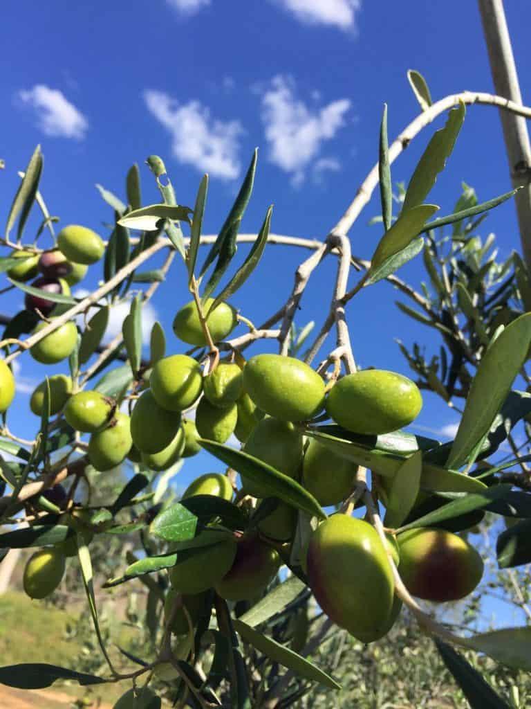 olive coratina sfondo cielo 2