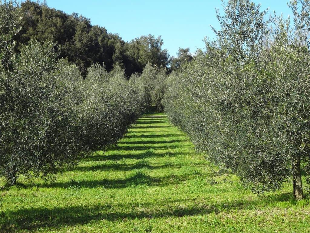 oliveto per sfondo 1