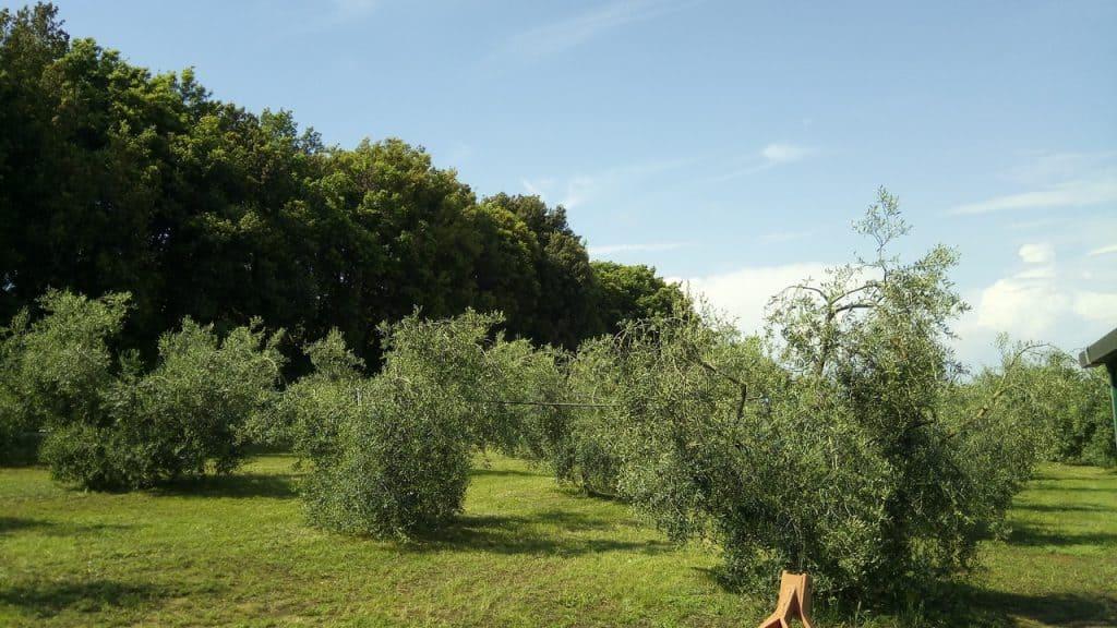 oliveto triangolo e sfondo lecci